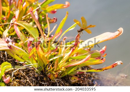 Eastern Amberwing Dragonfly perched on Venus Flytrap - stock photo