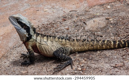 Eastern australian water dragon sometimes seen on the beaches around Sydney