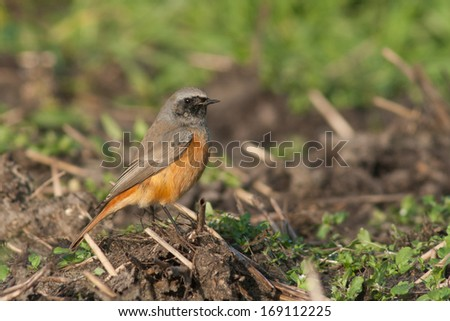 Eastern Black Redstart resting on a field