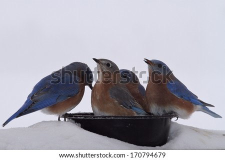 Eastern Blue birds enjoying some fresh water on a cold Winters day in Missouri. - stock photo
