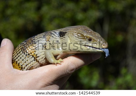 Eastern blue-tongued lizard or skink - stock photo