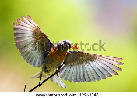 Eastern bluebird  - stock photo