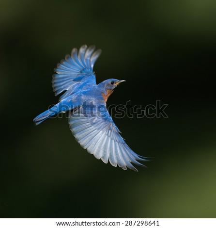 Eastern Bluebird in Flight on Dark Green Background - stock photo
