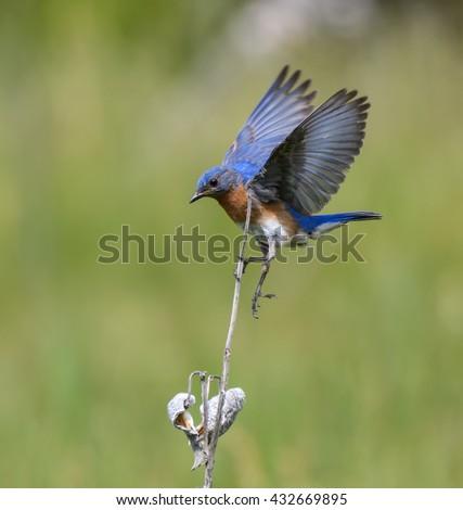 Eastern Bluebird Landing - stock photo