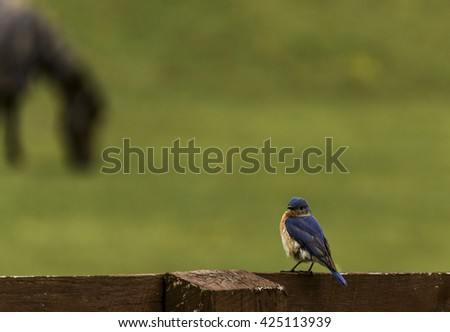 Eastern Bluebird Male/A male Eastern Bluebird (Sialia sialis) sitting on a fence along a pasture with a out-of-focus horse in the background. - stock photo