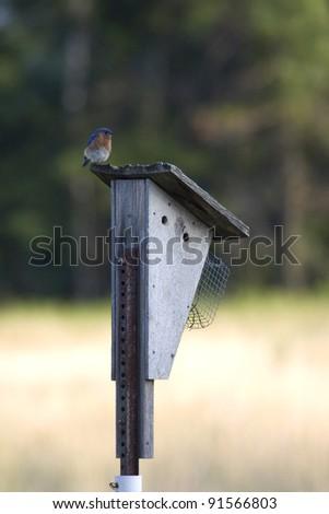 Eastern Bluebird on bird house - stock photo