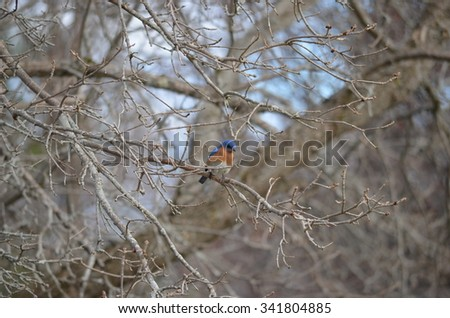 Eastern Bluebird perched on a branch in spring in New Hampshire - stock photo
