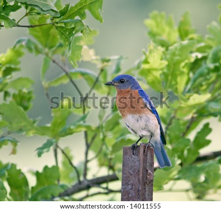 Eastern bluebird perched on a fence post - stock photo