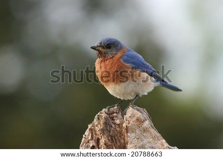 Eastern Bluebird perched on a tree stump. - stock photo