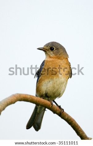 Eastern Bluebird (Sialia sialis) - stock photo