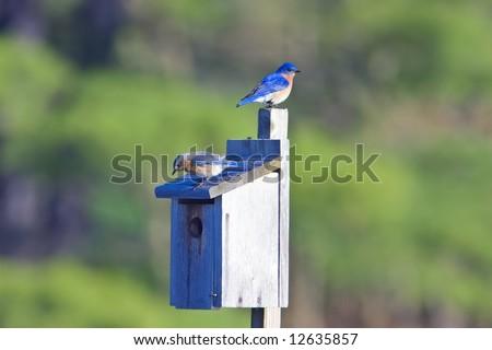 Eastern Bluebird, Sialia sialis, at nesting box - stock photo