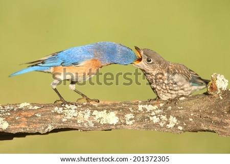 Eastern Bluebird (Sialia sialis) feeding a baby on a log with a green background - stock photo