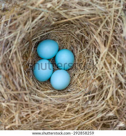 Eastern Bluebird (Sialia sialis) nest with four eggs - stock photo