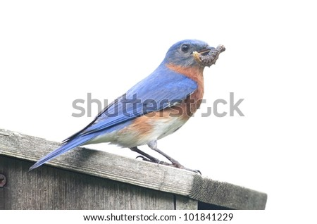 Eastern Bluebird (Sialia sialis) on a birdhouse with a worm - Isolated on a white background - stock photo