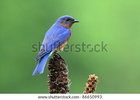 Eastern Bluebird (Sialia sialis) on a branch - stock photo