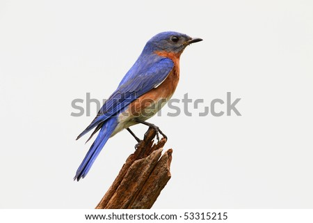 Eastern Bluebird (Sialia sialis) on a stump - Isolated on a white background - stock photo