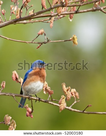 Eastern bluebird, Sialia sialis, perched on a tree branch