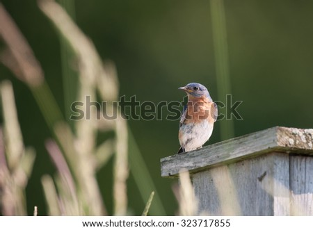 Eastern bluebird (sialia sialis) perched on edge of wooden bluebird house surrounded by tall prairie grasses - stock photo