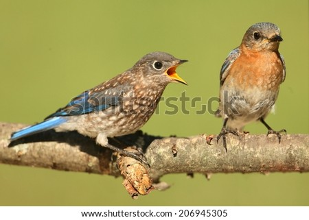 Eastern Bluebird (Sialia sialis) with a baby on a branch with a green background - stock photo