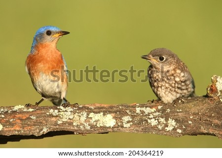 Eastern Bluebird (Sialia sialis) with a baby on a log - stock photo
