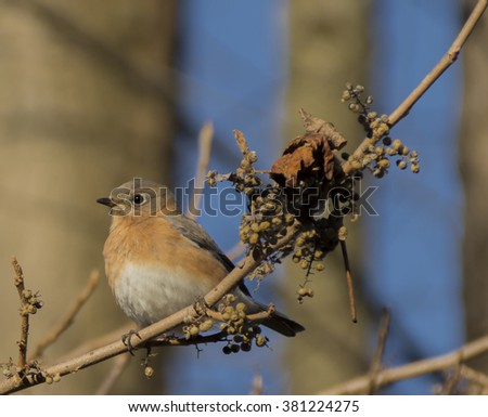 Eastern Bluebird with Winter Forage/A male Eastern Bluebird (Sialia sialis) perched on a vine next to dry grapes. - stock photo
