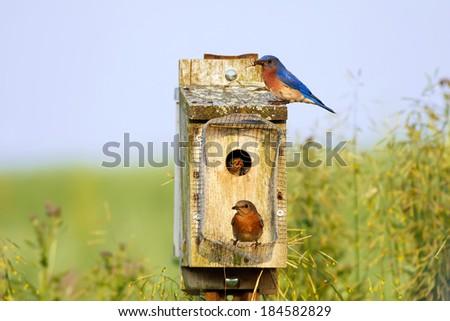 Eastern Bluebirds feeding their babies on a bright spring day - stock photo