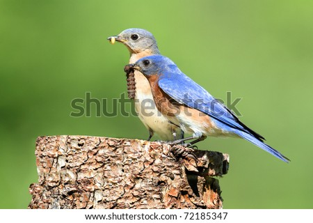 Eastern Bluebirds (Sialia sialis) carrying a worm - stock photo