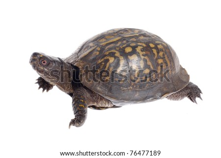 Eastern Box Turtle Isolated on White