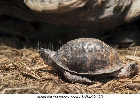 Eastern Box Turtle kept in captivity as a pet - stock photo
