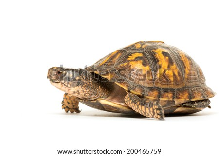 Eastern box turtle on white background