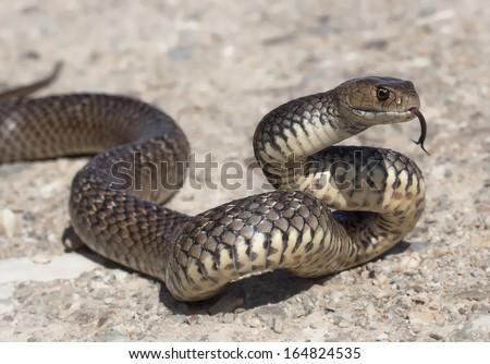 Eastern Brown Snake - stock photo