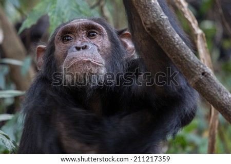 Eastern chimpanzee, Pan troglodytes schweinfurthii, young male resting in forest - stock photo