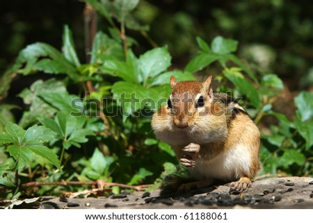 Eastern Chipmunk - stock photo