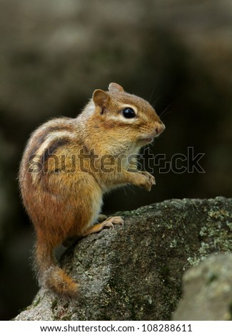 Eastern Chipmunk posed on rock against a dark background, in Bucks County, PA - stock photo