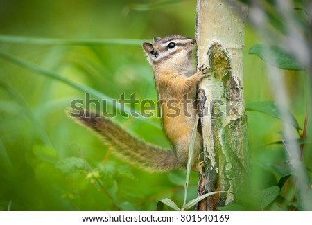 Eastern Chipmunk Squirrel (Tamias striatus)  clinging to a tree. Waterton Lakes National Park, Alberta, Canada, North America. - stock photo