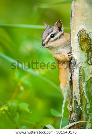Eastern Chipmunk Squirrel (Tamias striatus)  Clinging to a Tree. Waterton Lakes National Park, Alberta, Canada, North America.