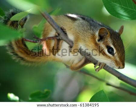 Eastern Chipmunk (Tamias striatus) - stock photo