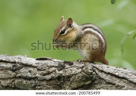 Eastern Chipmunk (Tamias striatus) Perched on its Hind Legs on a Log - stock photo