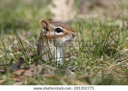 Eastern Chipmunk (Tamias striatus) poking its head out its burrow - Grand Bend, Ontario, Canada - stock photo
