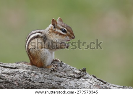 Eastern Chipmunk (Tamias striatus) Sitting on a Fallen Log - Ontario, Canada - stock photo