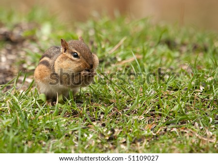Eastern chipmunk, Tamias striatus, stuffing its cheeks with food - stock photo