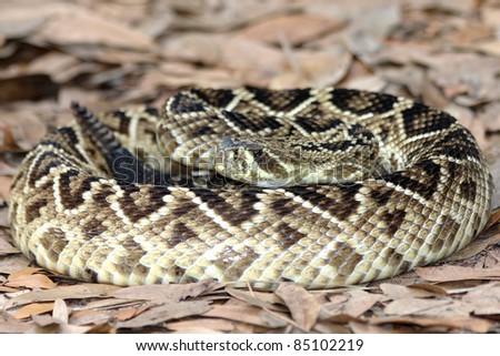 Eastern Diamondback Rattlesnake (Crotalus adamanteus) in Florida - stock photo