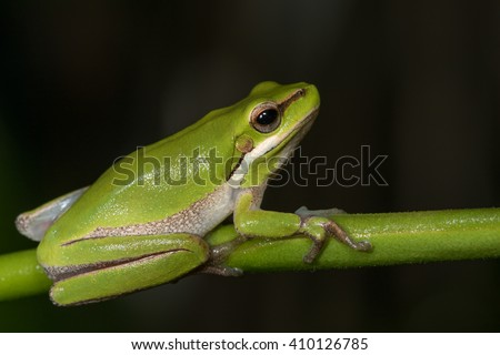 Eastern dwarf tree frog (Litoria fallax) holding onto a branch.