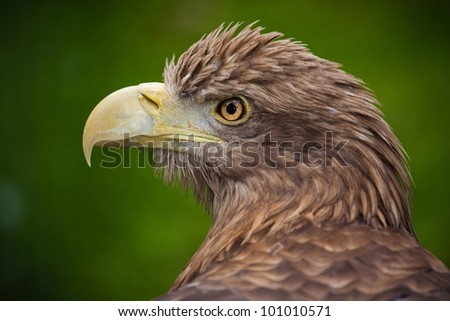 Eastern eagle - stock photo