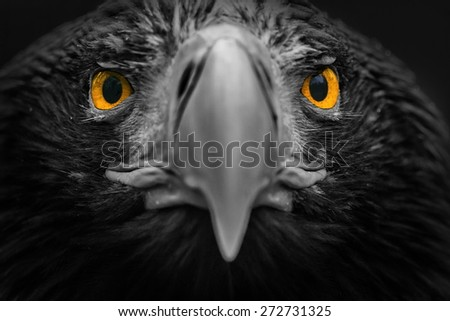 Eastern eagle black and white with yellow eyes - stock photo