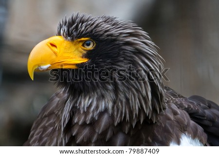 eastern eagle close up - stock photo