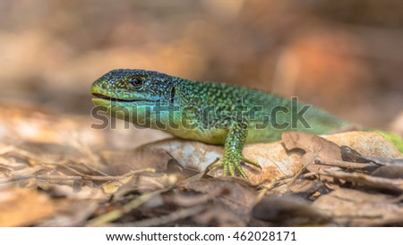 Eastern European Green Lizard (Lacerta viridis) resting on a rock among leaves with blurred background