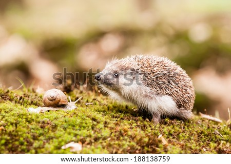 Eastern European Hedgehog sniffing something