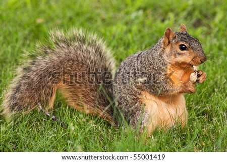 Eastern Fox Squirrel Peeling Open A Shelled Peanut - stock photo