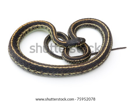 Eastern Garter Snake (Thamnophis sirtalis) - stock photo